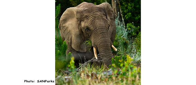 The Knysna Forest and its Elephants